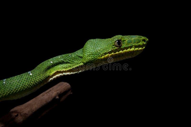 Boa verde smeraldo dell'albero sul nero immagine stock