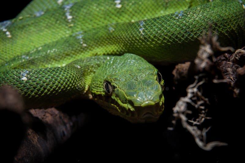Boa verde smeraldo dell'albero sul nero immagine stock libera da diritti