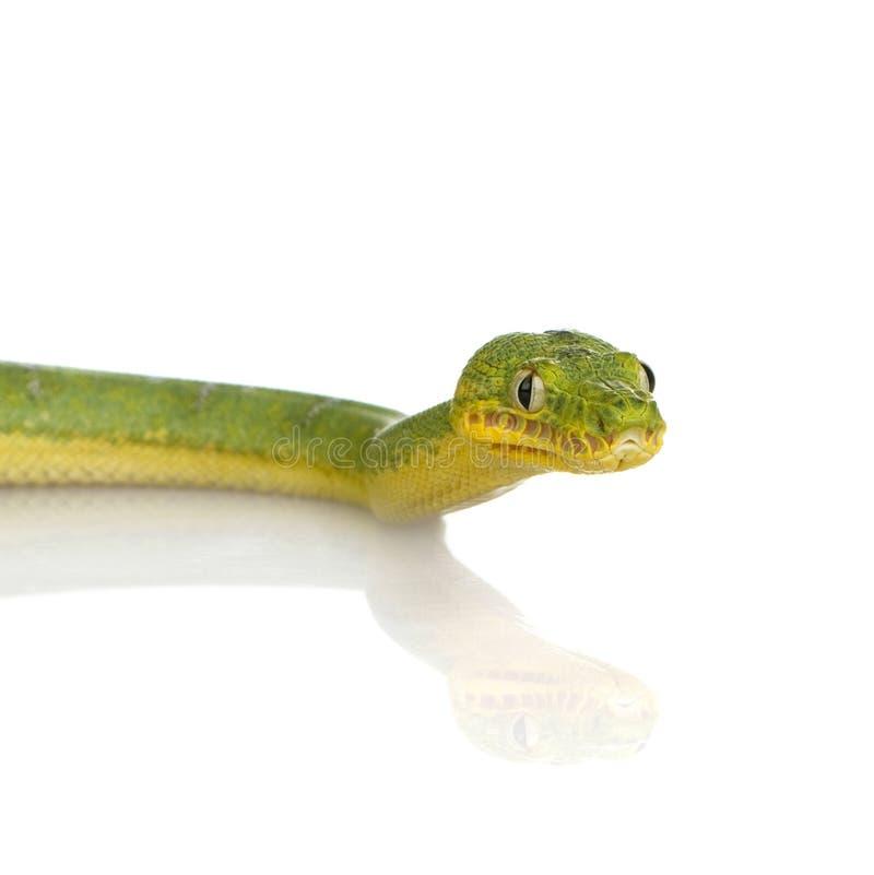 Boa vert d'arbre - caninus de Corallus image libre de droits