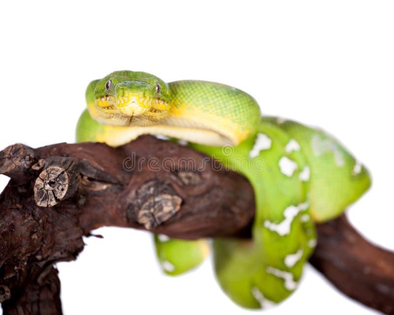 Boa vert d'arbre d'isolement sur le fond blanc photo libre de droits