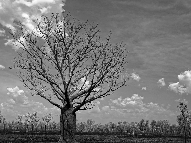 Boab Tree Sits Against A Cloudy Sky. A boab Adansonia gregorii tree, in B&W, sits on the burned plain against a cloudy sky in northern Australia royalty free stock photography