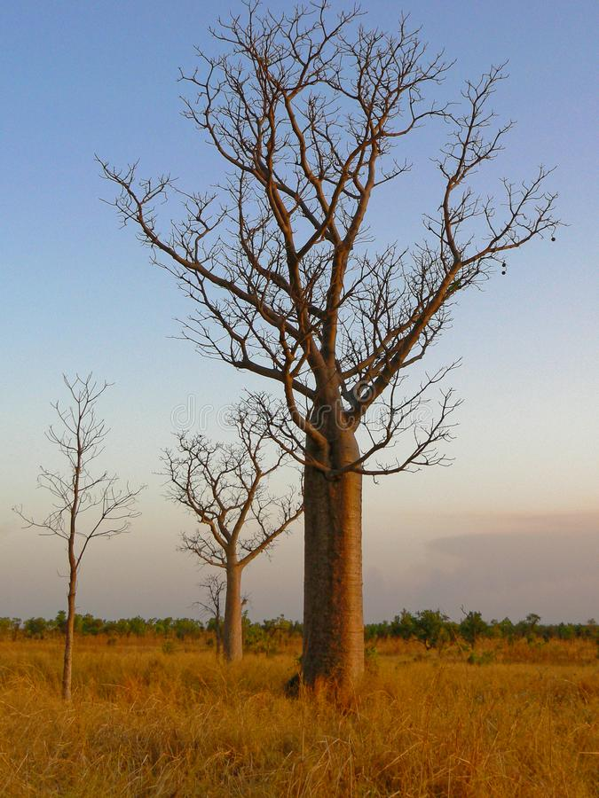 A Tall Boabab Tree On A Grassy Plain. A boab Adansonia gregorii tree, on a flat grassy plain, against a clear blue sky in northern Australia stock image