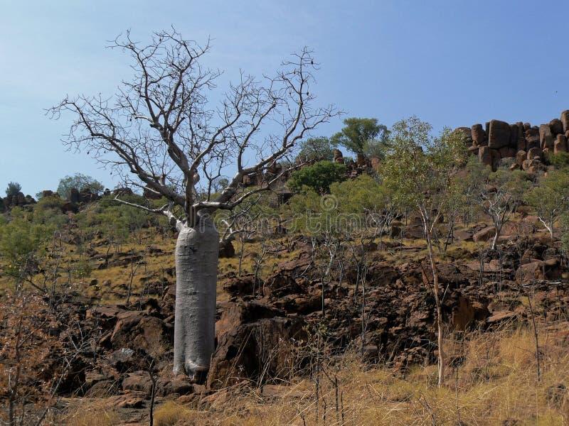 Boab Tree Sits On A Rocky Hillside. A boab Adansonia gregorii tree, on a rocky hillside in northern Australia royalty free stock image