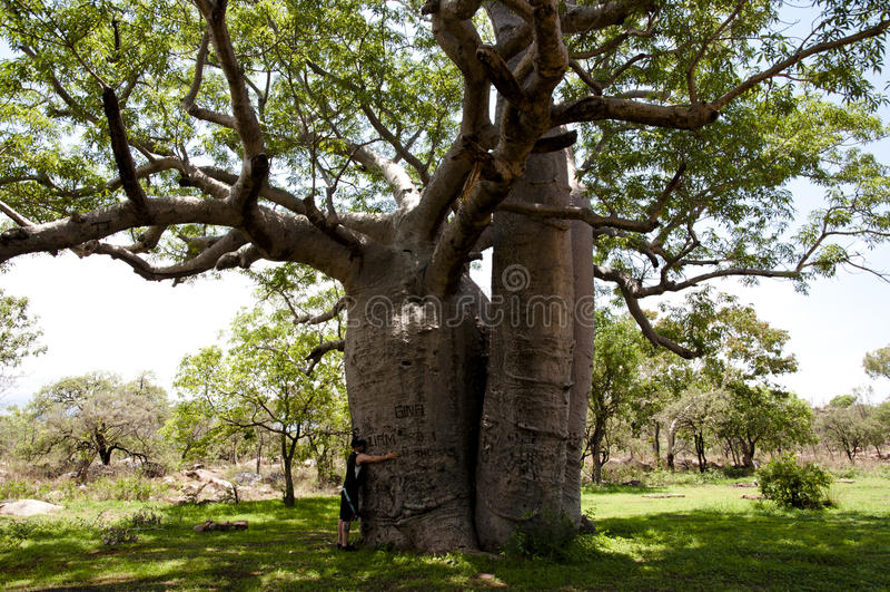 Boab tree - Australia stock photos