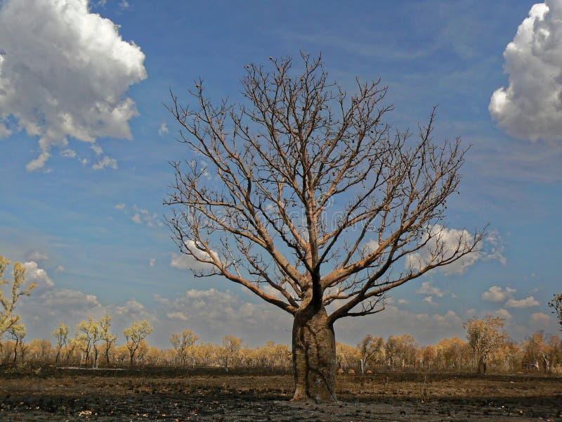 Boab Tree On The Burned Plain stock image