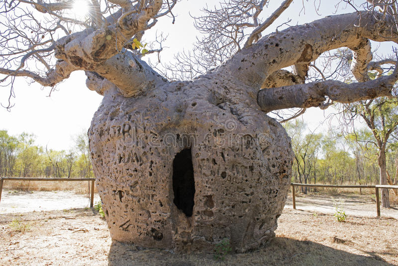 Boab tree stock photo