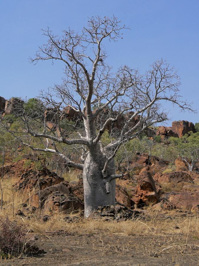 A Boab Tree At The Foot Of A Hill. A boab Adansonia gregorii tree, at the base of a hillside, against a clear sky in northern Australia royalty free stock image