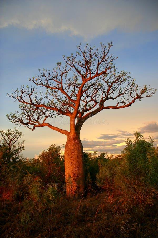 Boab tree, Kimberly, Australia royalty free stock image