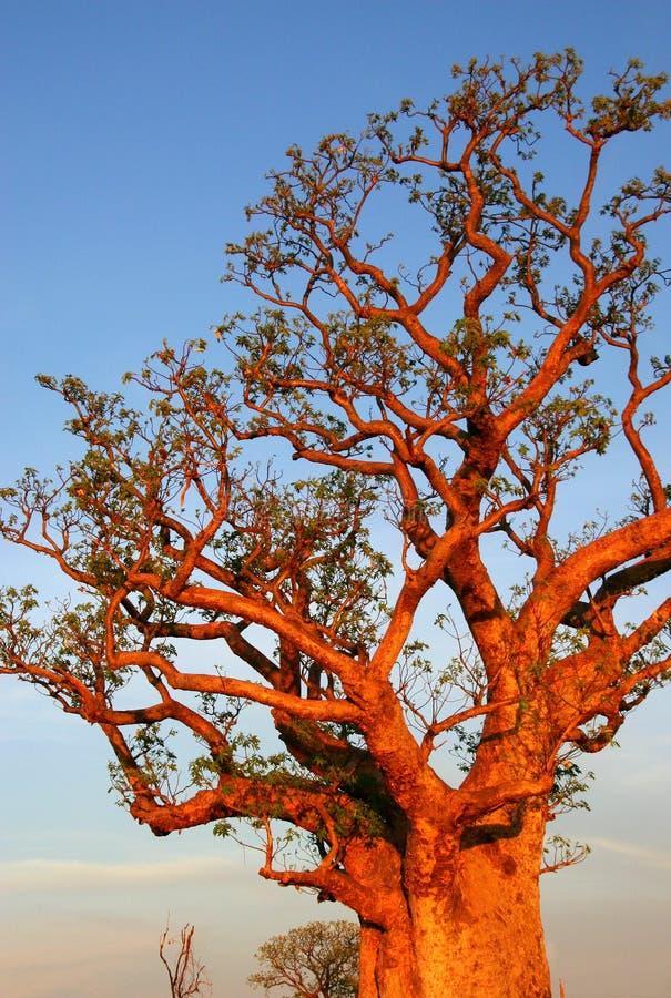 Boab tree, Kimberly, Australia stock images