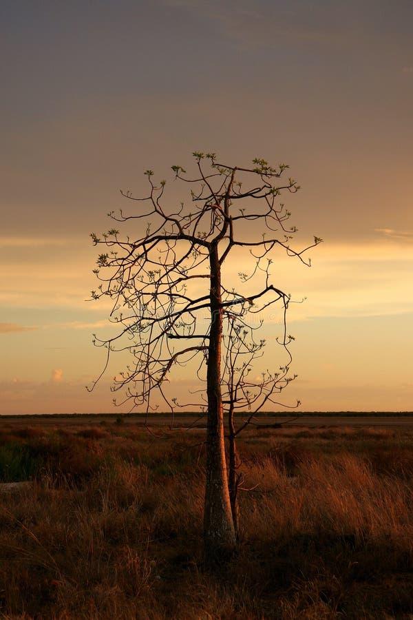 Boab tree, Kimberly, Australia stock photo
