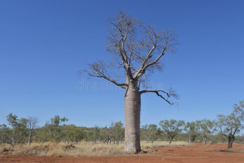 Boab Tree Kimberly Western Australia royalty free stock photos