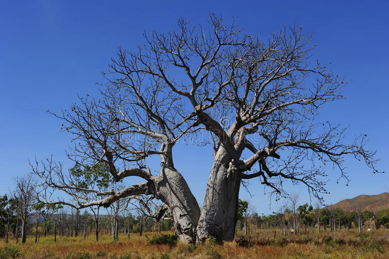 Boab Tree Western Australia Stock Photo