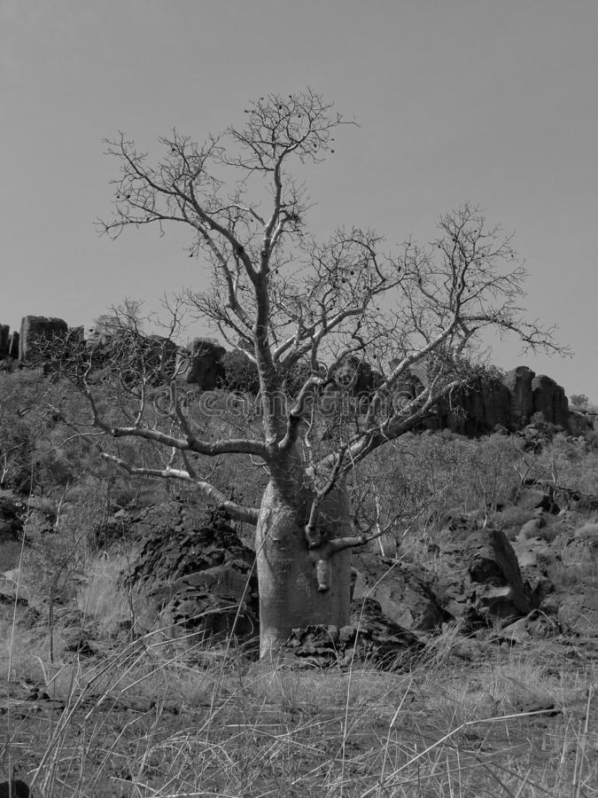 A Boabab Tree At The Foot Of A Hill in Black And White. A boab Adansonia gregorii tree, in B&W, at the base of a hillside, against a clear sky in northern stock photos
