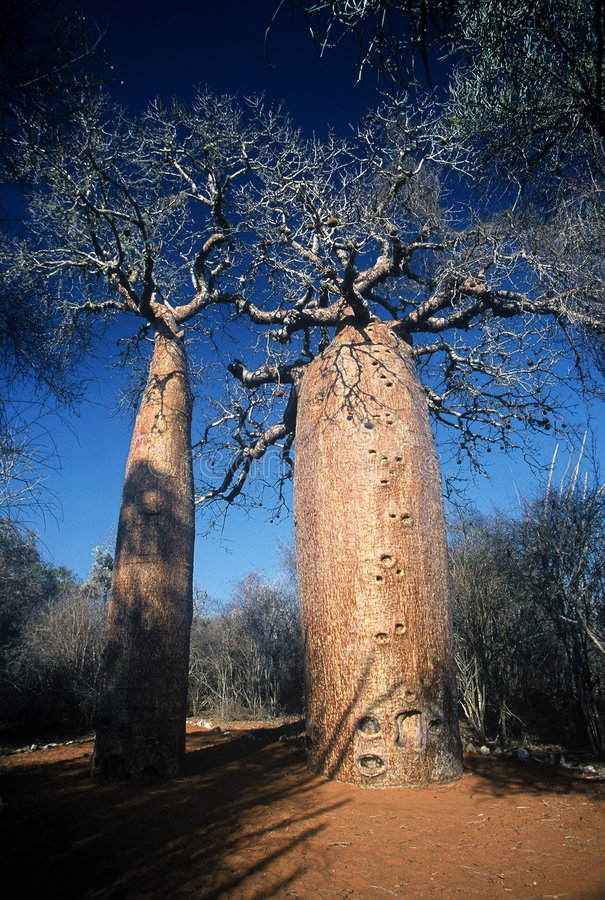 Boababs en Madagascar, Madagascar foto de archivo