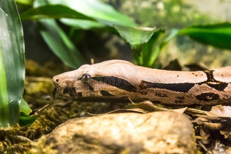 Boaconstrictor, art av den stora skurkroll-förkroppsligade ormen royaltyfri foto