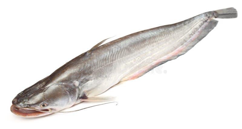 Boal-Fische über weißem Hintergrund lizenzfreie stockbilder