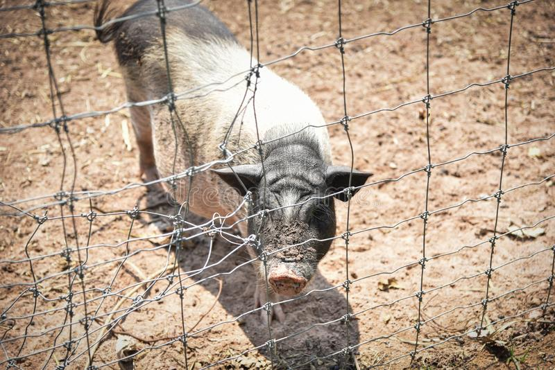Boar in the cage stock photo