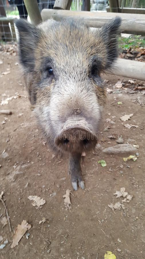 Boar royalty free stock photography