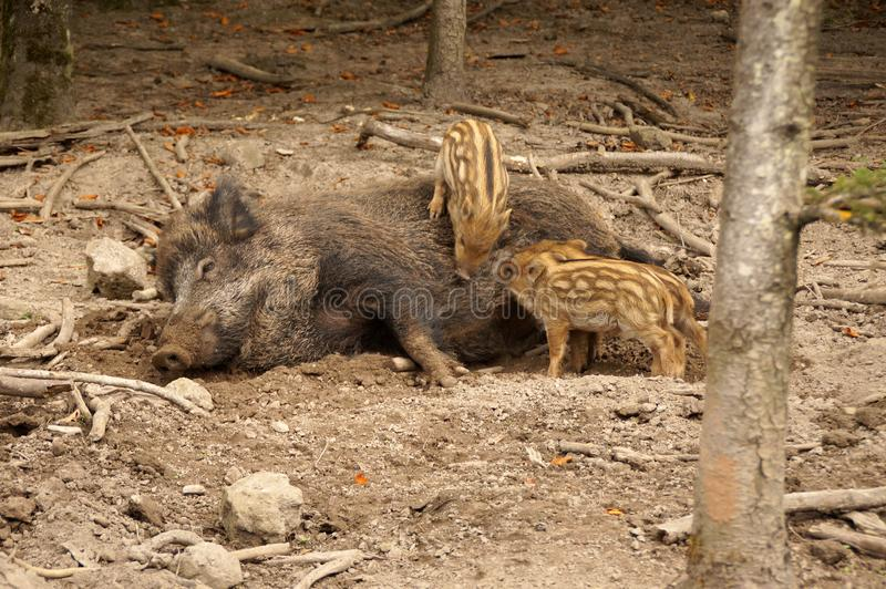 A boar mother suckles her piglets royalty free stock images