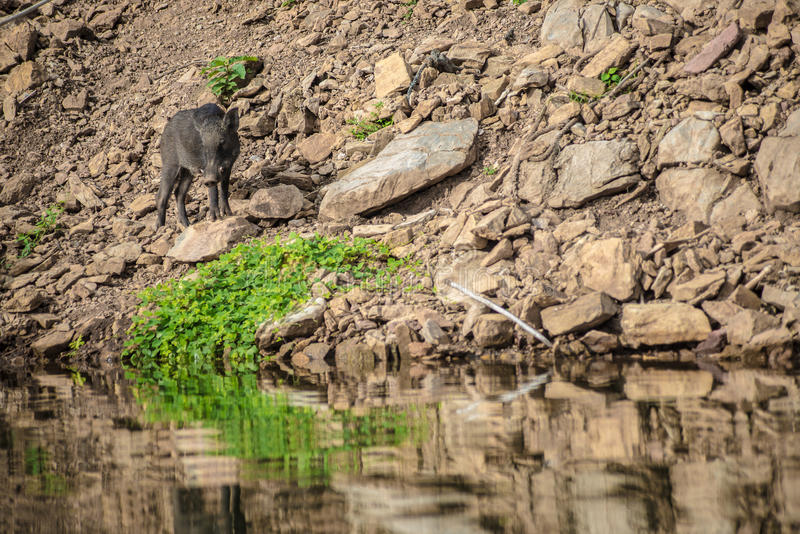 A boar royalty free stock photography