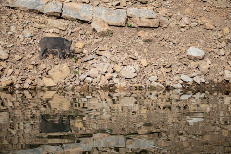 A boar royalty free stock photos