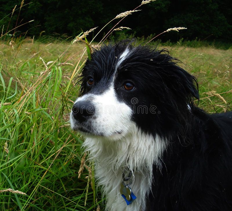 Boarder Collie royalty free stock photography