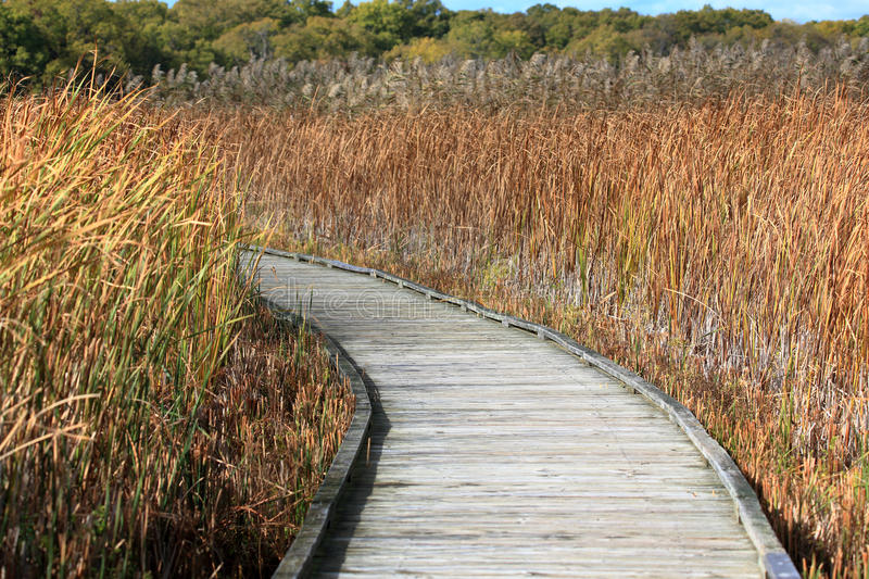 Boardwalk through a marsh, lined with reeds royalty free stock images