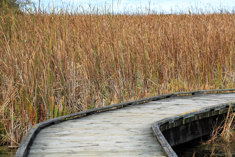 Boardwalk through a marsh, lined with reeds stock images