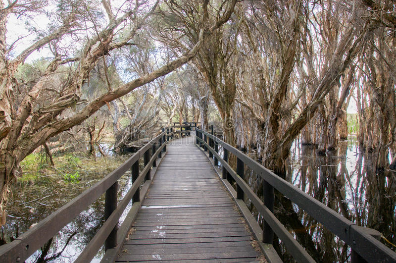 Boardwalk through Melaleuca. Herdsman Lake with wooden boardwalk through the tropical papery melaleuca trees in the wetland reserve in Churchlands, Western stock photography