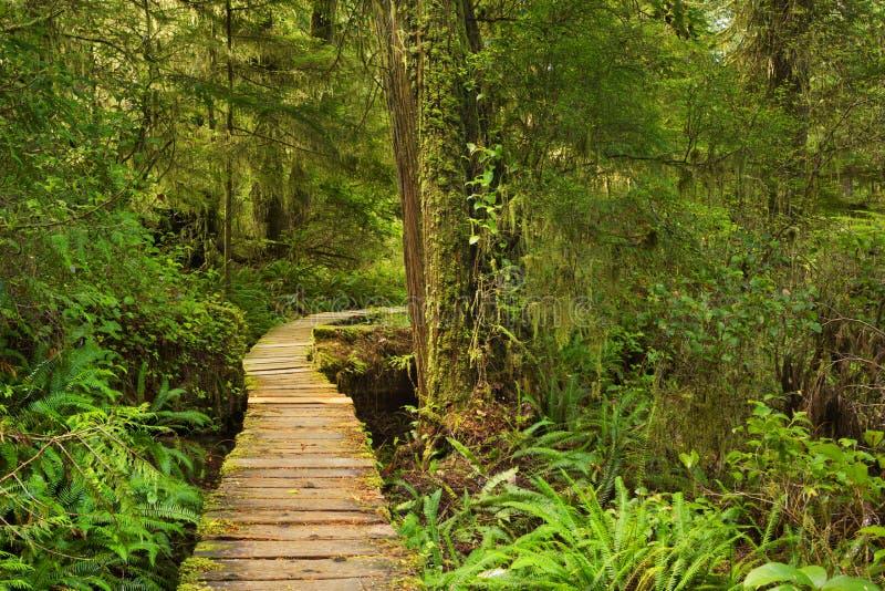 Boardwalk przez luksusowego tropikalnego lasu deszczowego, kraje basenu oceanu spokojnego NP, Kanada zdjęcie stock