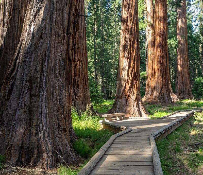 Boardwalk przez sekwoja lasu zdjęcia royalty free