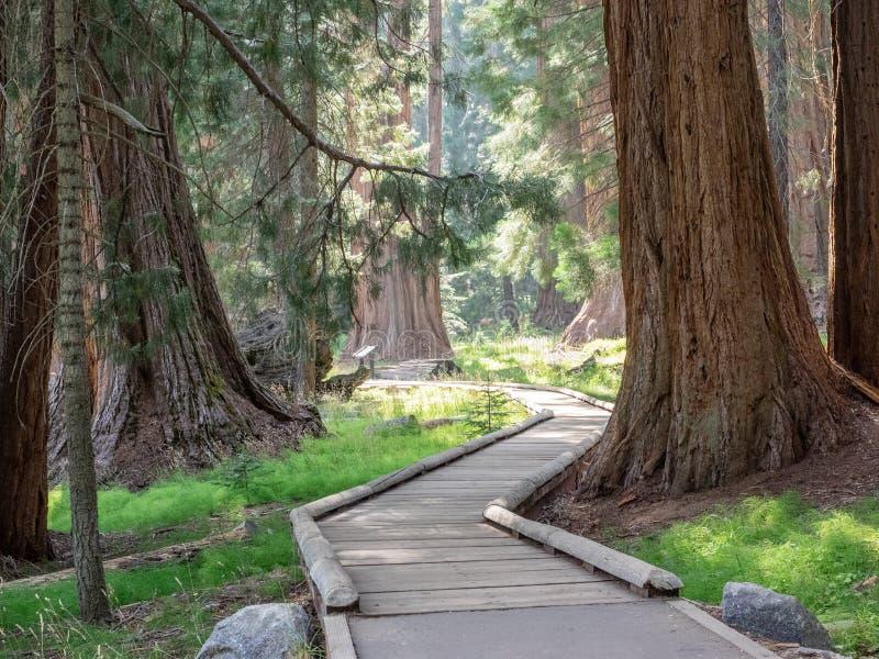 Boardwalk przez sekwoja lasu zdjęcie stock