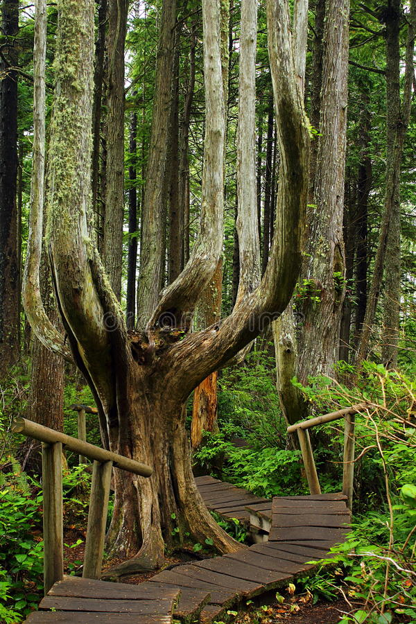 Boardwalk through Magical Rainforest at Cape Flattery on the Olympic Peninsula, Washington State. Boardwalk and old Sitka Spruce in the temperate rain forest of stock photography