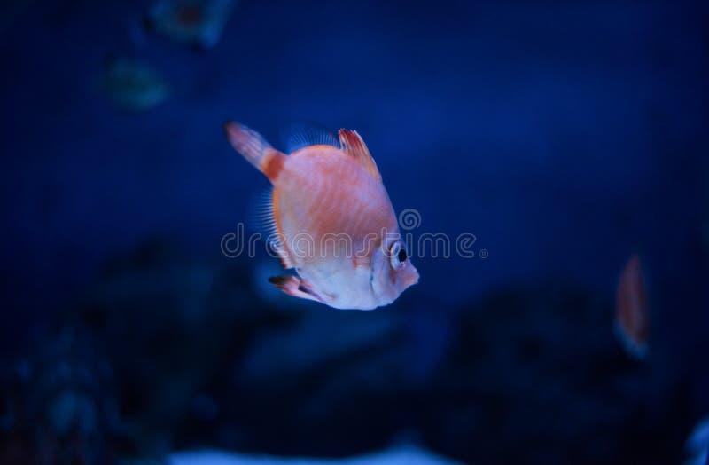 boarfish in water stock foto