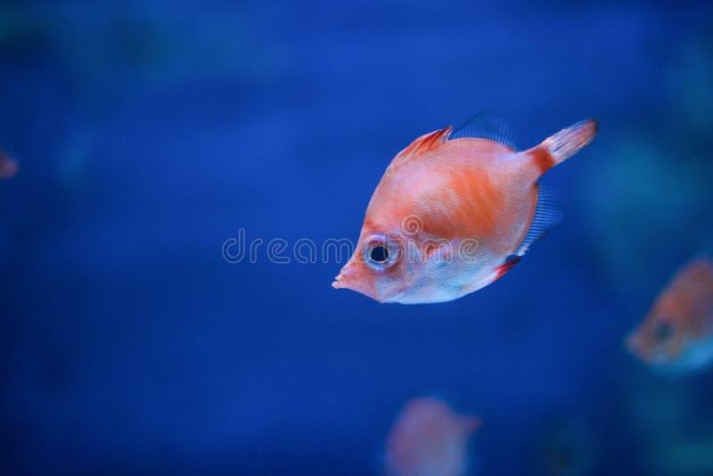 boarfish in water royalty-vrije stock afbeelding