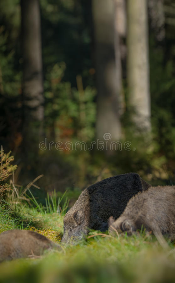 Boars in pine forest royalty free stock photography