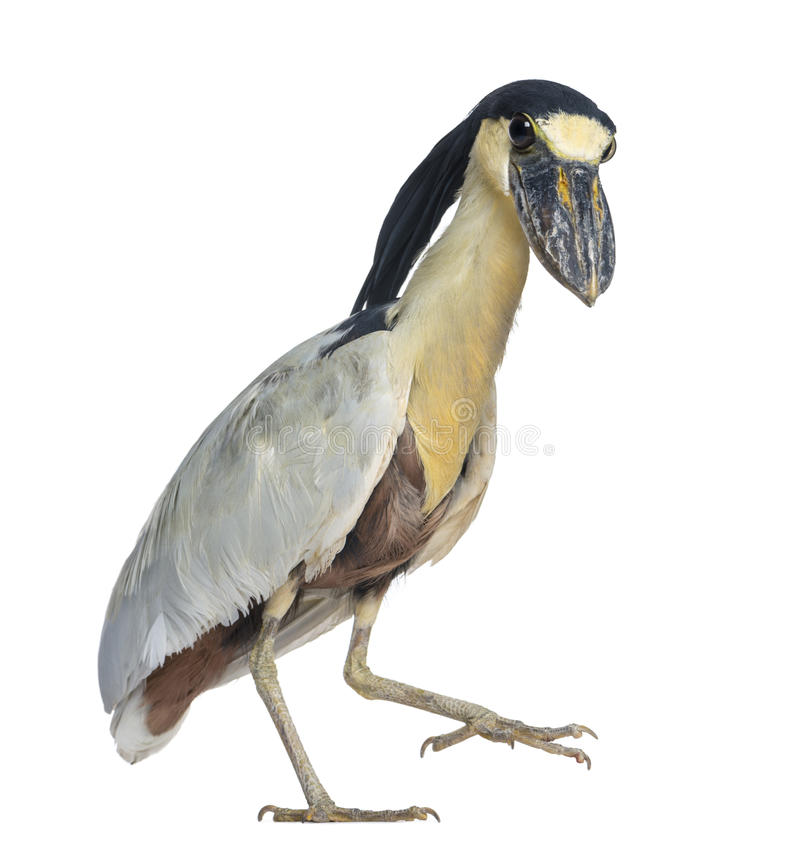 Boat-billed Heron; Boatbill - Cochlearius Cochlearius Royalty Free Stock Image
