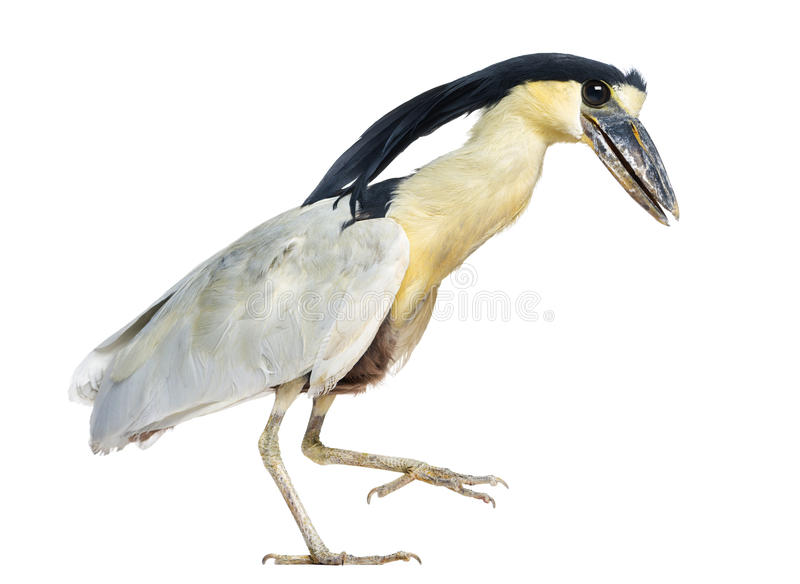 Download Boat-billed Heron; Boatbill - Cochlearius Cochlearius Stock Photo - Image: 30341108