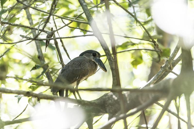 Boat billed heron, Cano Negro, Costa Rica royalty free stock image