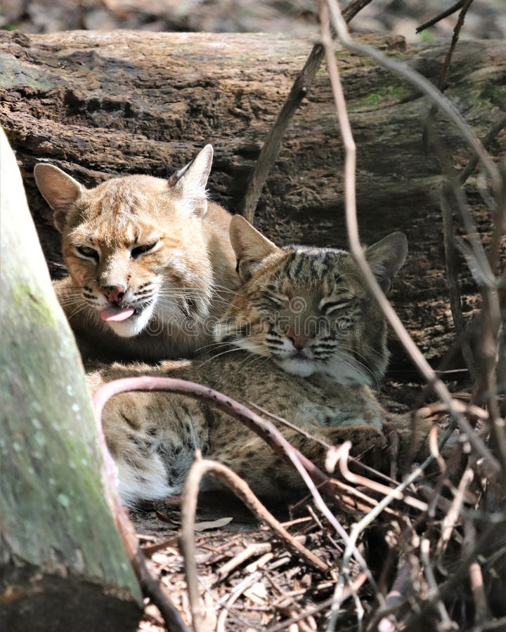 Bob cat grooms its partner. Adorable Bob Cats lying together near a log. One giving the other a bath stock image