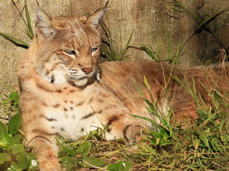 Bobcat. Bob Cat Sitting In Sunshine royalty free stock photo
