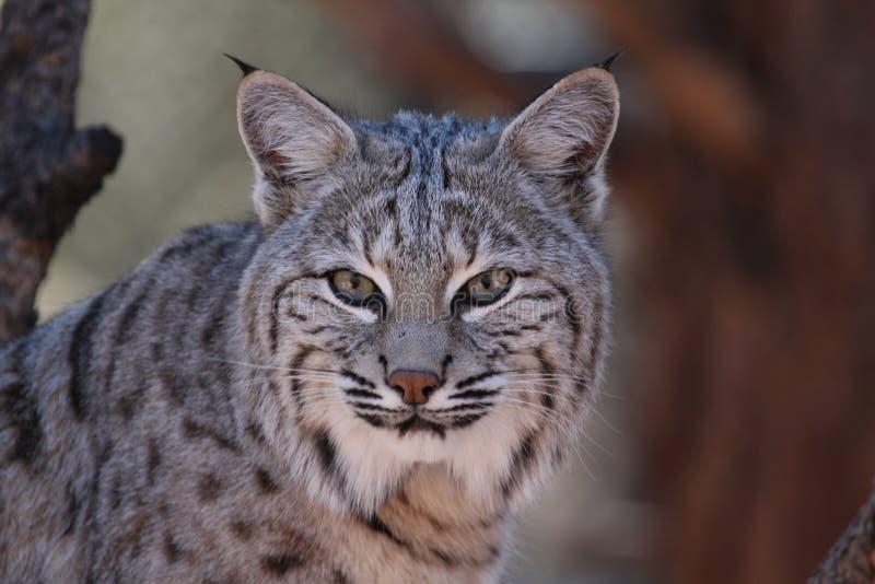 Bob Cats Head-schot royalty-vrije stock fotografie