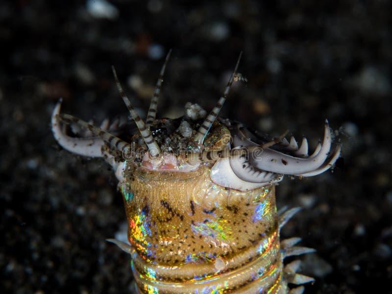 Bobbitt-Wurm auf schwarzem Sand stockbilder