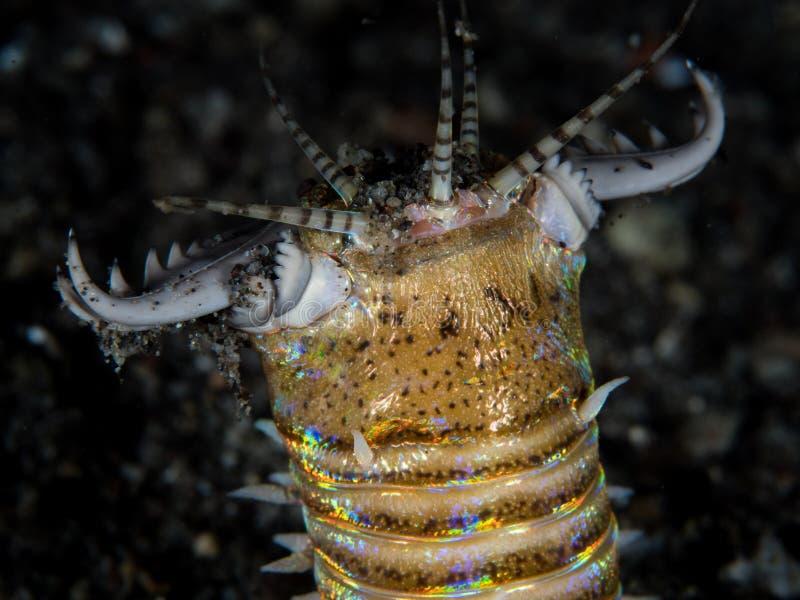 Bobbitt-Wurm auf schwarzem Sand stockbild