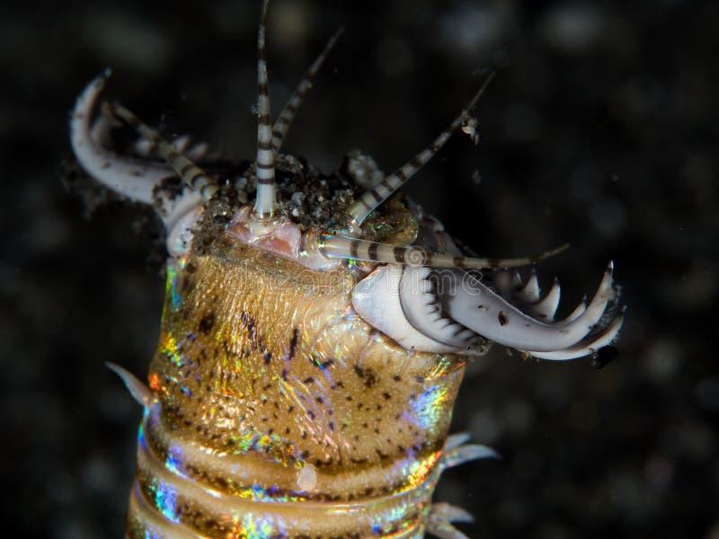 Bobbitt-Wurm auf schwarzem Sand lizenzfreie stockfotografie
