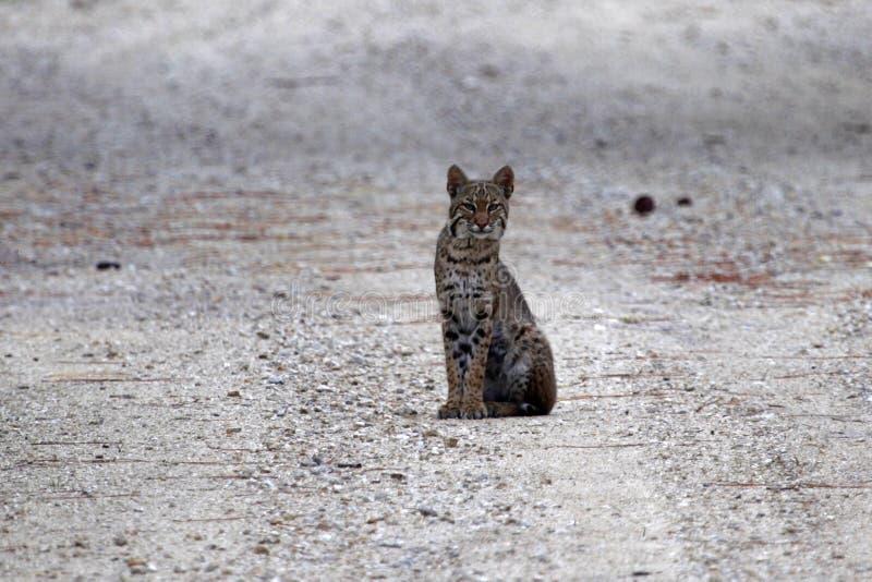 bobcat περίεργα everglades στοκ εικόνες