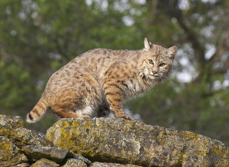 Download Bobcat Royalty Free Stock Photos - Image: 13622048