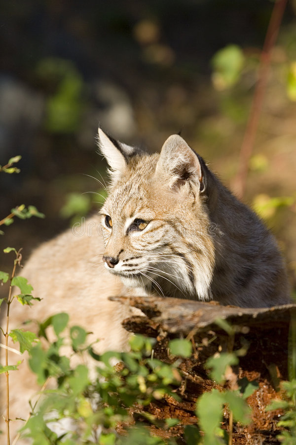 Download Bobcat stock photo. Image of whiskers, wild, bobcat, feline - 1442198