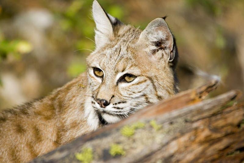 Download Bobcat stock image. Image of teeth, natural, predator - 1442207