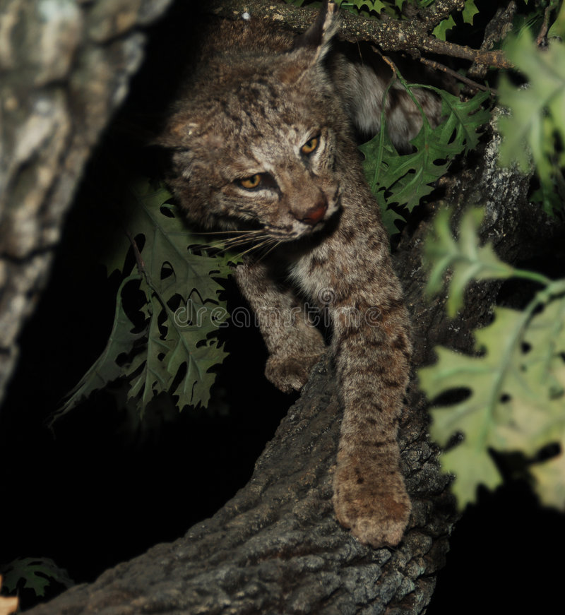 Download Bobcat stock image. Image of tree, wild, north, predator - 1625069
